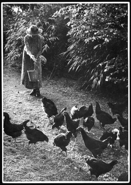 An older woman in a long dress and wide-brimmed hat throws handfuls of chicken feed on to the ground for the chickens to peck at and scratch in the straw