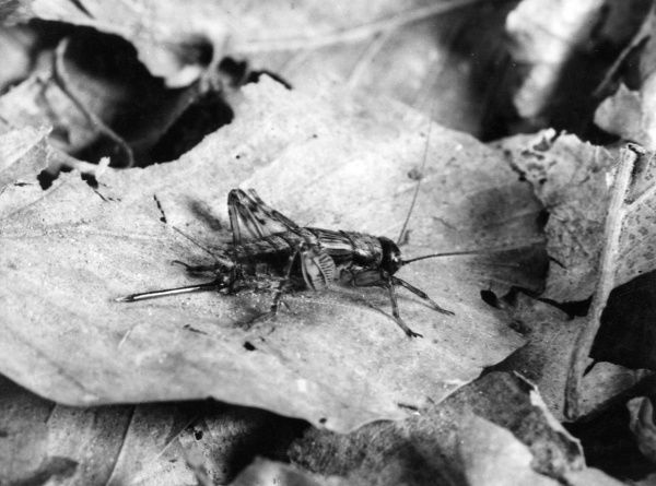 A Wood Cricket sitting on a leaf. Date: 1960s