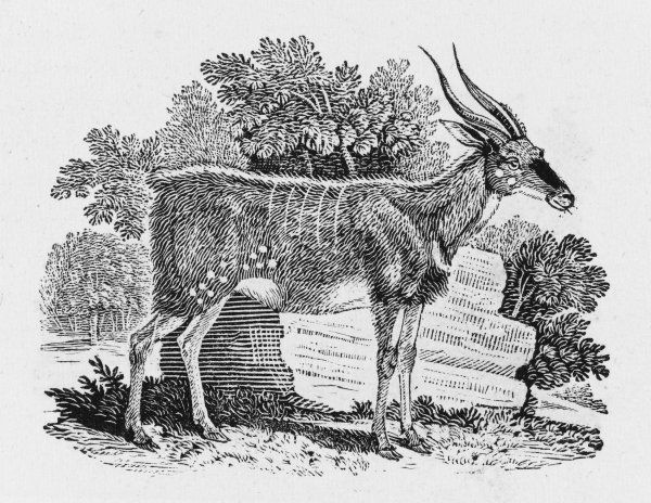 THE WOOD-GOAT This is the label Bewick assigns to this resident of South Africa : but it could well be an antelope or a kind of deer