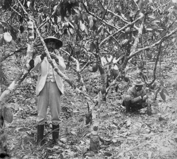 Two workers picking cocoa pods in Jamaica