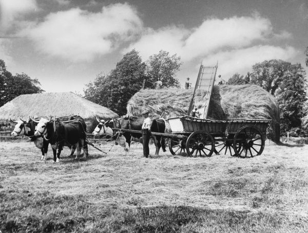 Working oxen on Lord Bathurst's estate at Cirencester, Gloucestershire; farmworkers construct a haystack in the background