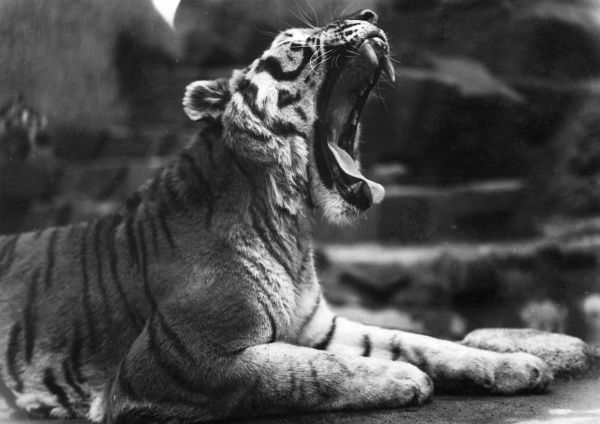 A tiger yawns widely, bored of sunbathing! Date: 1930s