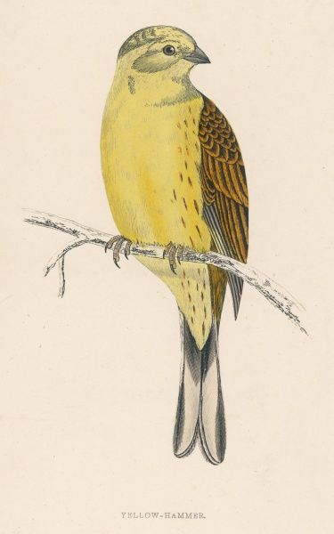 YELLOW BUNTING (also known as YELLOWHAMMER) (Emberiza citrinella)