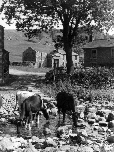 Cows drinking from a stream at Stainforth, near Settle, North Yorkshire, England. Date: 1950s
