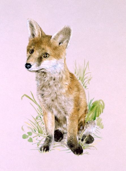 A young Red Fox (Vulpes vulpes). Painting by Malcolm Greensmith