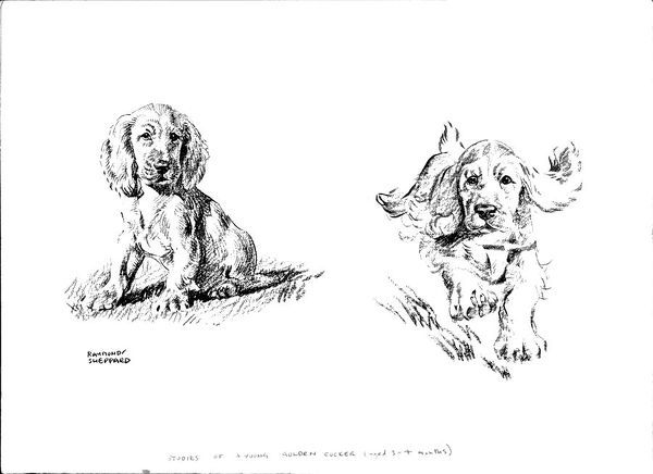 Sketches of a young Golden Cocker Spaniel puppy (aged 3-4 months) sitting and running. Pencil / crayon drawings by Raymond Sheppard