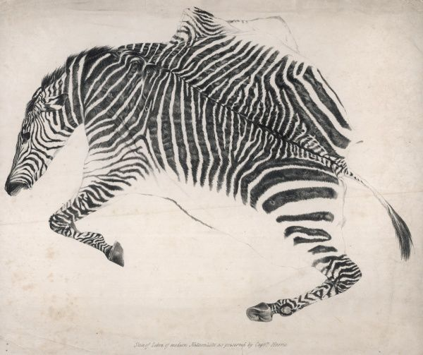 'Skin of zebra of modern Naturalists as preserved by Captain Harris', probably William Cornwallis Harris of the East India Company, a keen hunter in Africa