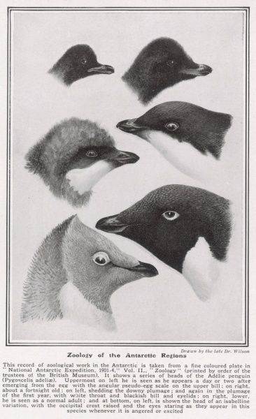 A series of heads of the Adelie penguin, Pygoscelis adeliae, drawn by Dr Wilson, who accompanied and died with Captain Scott on his fateful expedition to reach the South Pole in 1912