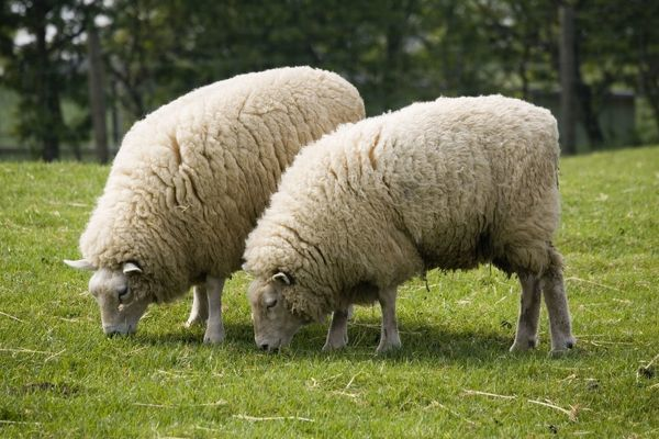 beltex double muscled sheep