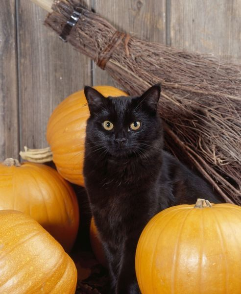 black cat with pumpkins and broomstick
