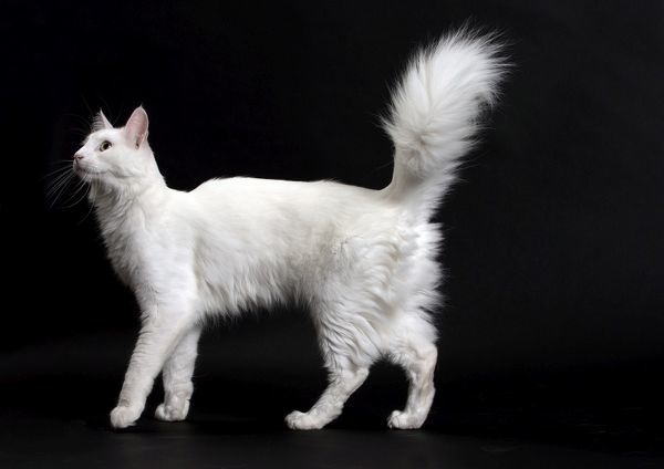 angora dating A noted historian of rabbit breeds [citation needed], bob d whitman, mentions a purported origin of the angora breed dating to ten centuries earlier:.