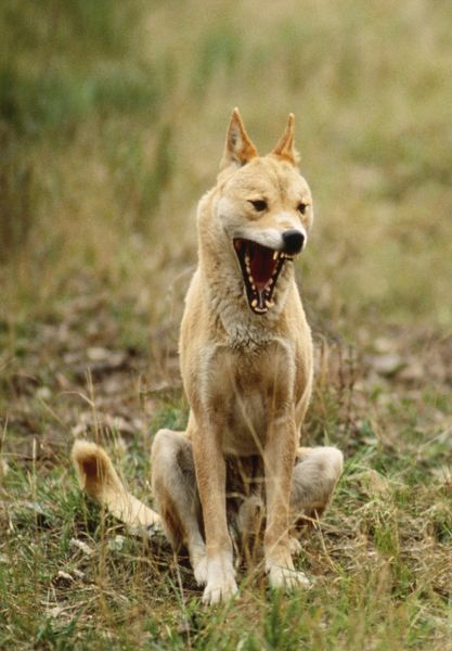 Dingo With Mouth Open Jpf 182460 M Dingo With Mouth