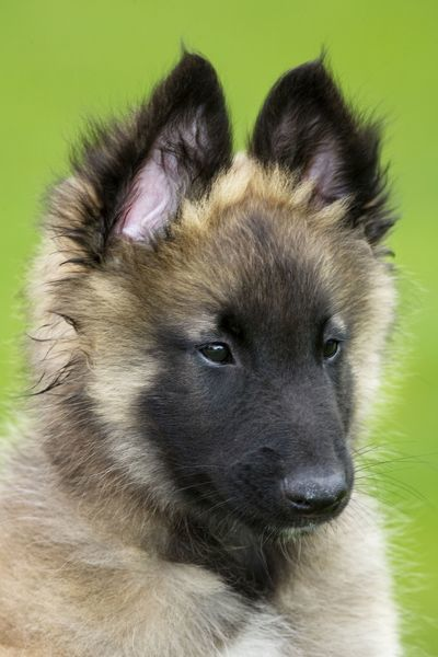 dog belgium shepherd tervuren puppy in garden