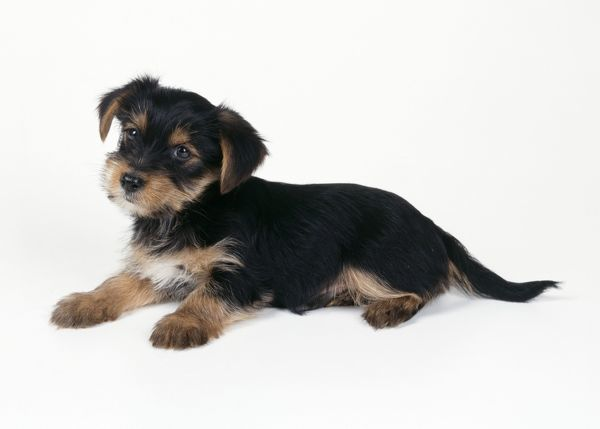 dog cross breed puppy yorkshire terrier x jack russell cross Copyright