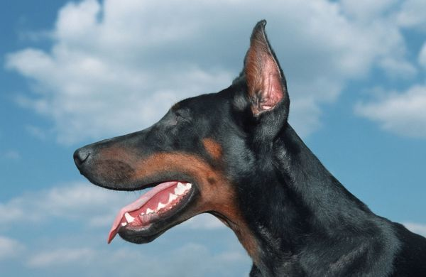 dog doberman pinscher dobermann head with cut ears me 1317 dog doberman photo prints. Black Bedroom Furniture Sets. Home Design Ideas