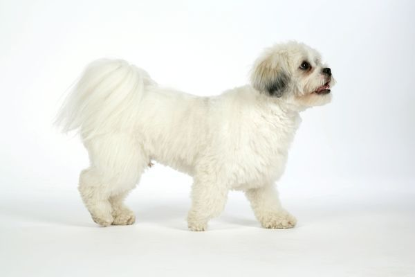 also known lhasaapso puppies and dog photo animal pictures lhasa