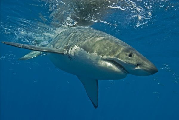 great white shark female