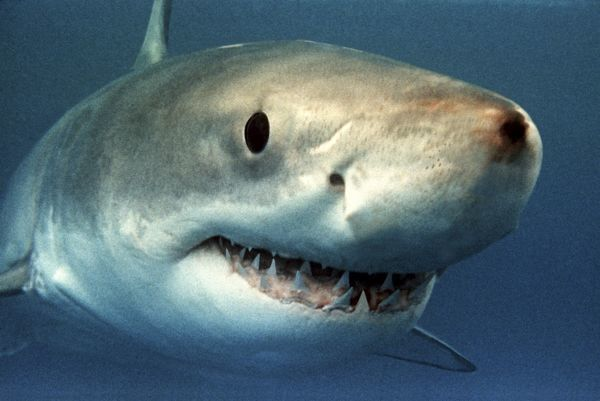 great white white white pointer shark close up of head showing teeth