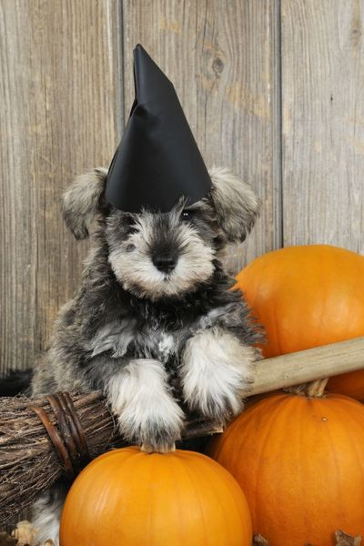 jd 20992 dog schnauzer puppy looking over broom wearing witches hat