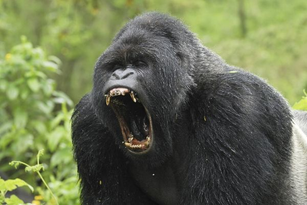 Silverback Gorilla Strength - Bing Images | Creative Ideas ...