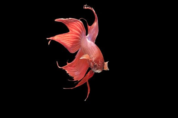 Siamese fighting fish red form male displaying front for Siamese fighting fish crossword