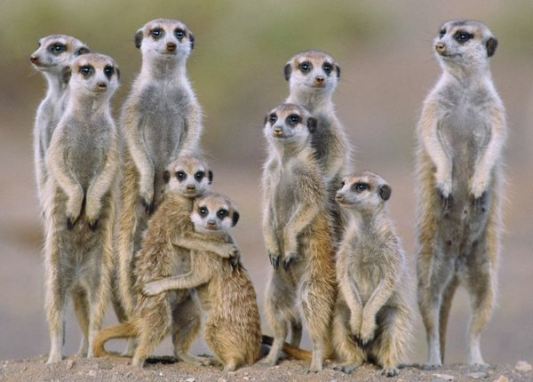 suricate meerkat family with young on the lookout at the edge of its burrow