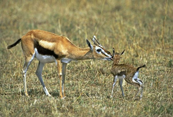 Thomson's Gazelle - mother and young baby Prints - Ardea ...