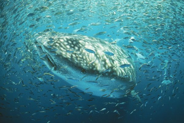 whale shark in bait ball