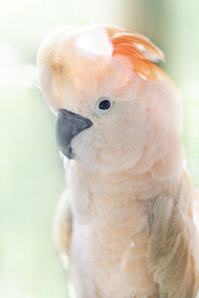 An endemic Salmon-crested cockatoo (Moluccan cockatoo), Seram, Moluccas (Maluku), Indonesia, Southeast Asia, Asia