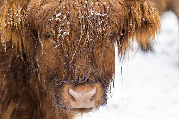 Highland cow under the snow, Valtellina, Lombardy, Italy, Europe