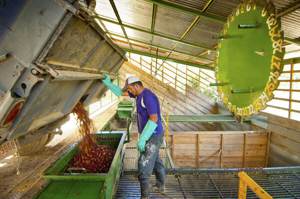 Costa Rica, San Marcos de Tarrazu, Coffee Farm, Truckload Of Coffee Cherries Or Berries, Weighing The Raw Coffee