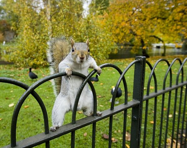 Grey Squirrel in St James Park, London, UK