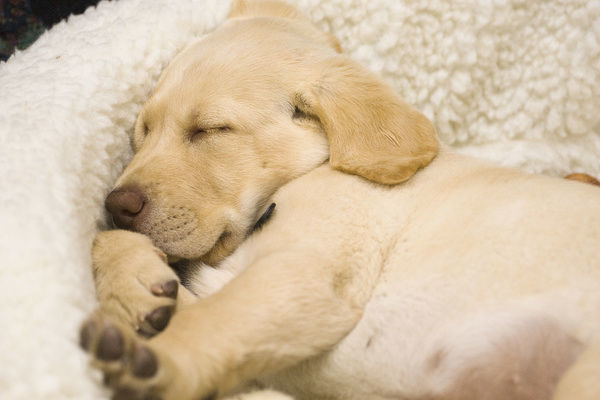 Keizer United States  city images : USA, Oregon, Keizer, Labrador Retriever puppy sleeping in its bed PR ...