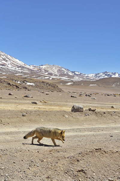 Andean fox (Lycalopex culpaeus) walking in the Altiplano, Andes, Bolivia. September 2018