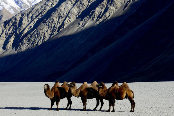 Bactrian camels (Camelus bactrianus) on sand, Nubra Valley, Ladakh, India. September