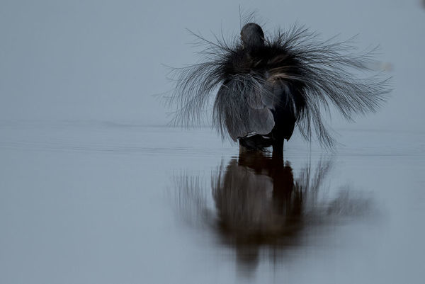 Black erget (Egretta gularis) displaying, Joao Vieira Poillo, Bijagos Archipellago. Guinea Bissau