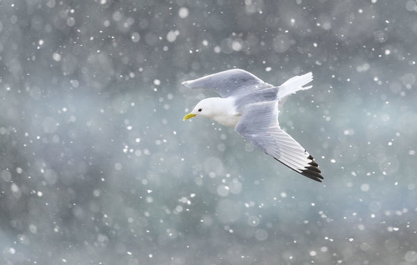 Black-legged kittiwake (Rissa tridactyla) in flight over Newcastle city centre in a blizzard. Newcastle, UK. March