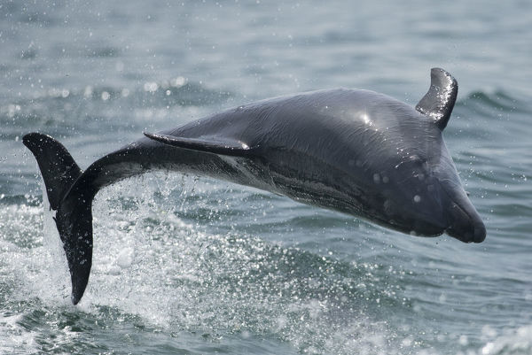 Bottlenose dolphin (Tursiops truncatus) porpoising, Sado Estuary, Portugal. July