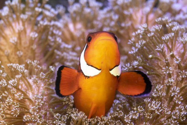 Clownfish (Amphiprion sp) in anemone home, Philippines