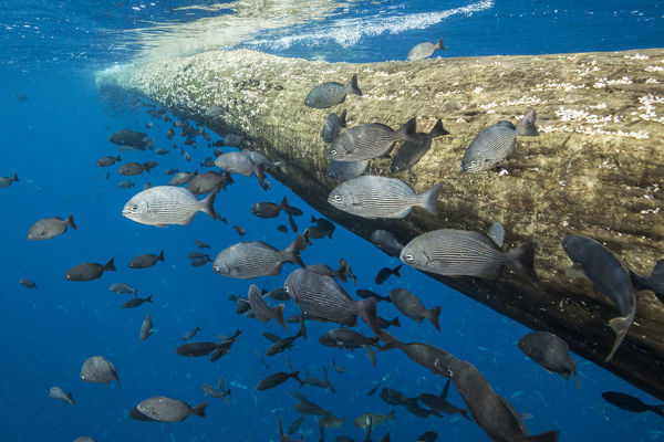 Fish seeking shelter around floating tree in open ocean. Off coast of Cocos Island National Park, Costa Rica