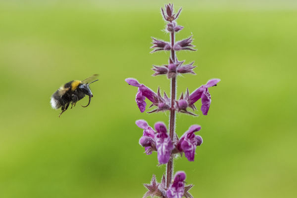 Garden bumblebee (Bombus hortorum) flying to Hedge woundwort (Stachys sylvatica) Monmouthshire, Wales, UK, July