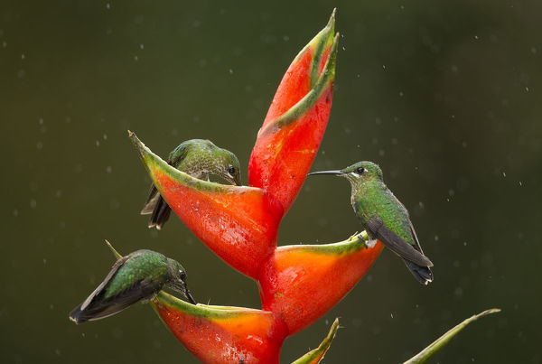 Green-crowned brilliant (Heliodoxa jacula), three feeding on Lobster-claw (Heliconia sp) flower in rain. Costa Rica