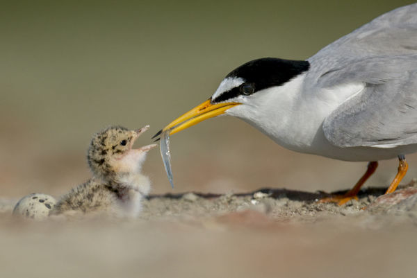 Little Tern (Sterna albifrons) feeding chick, Sado Estuary, Portugal. June
