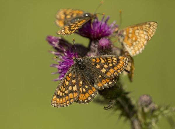 Marsh fritillary (Euphydryas aurinia), group feeding on Marsh thistle (Cirsium palustre). Lincolnshire, England, UK