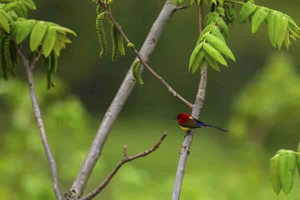Mrs Gould's sunbird (Aethopyga gouldiae) perched on branch, Tangjiahe Nature Reserve, Sichuan Province, China