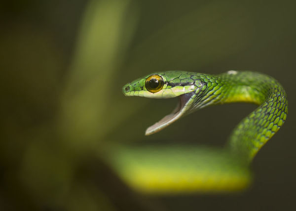 Parrot snake (Leptophis ahaetulla) in aggressive pose with mouth open. Costa Rica