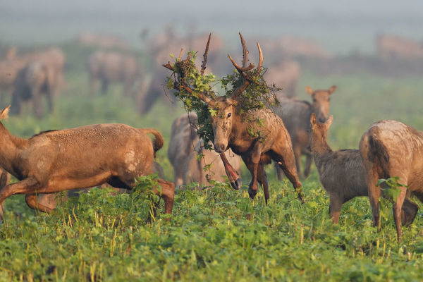 Pere David's deer / Milu (Elaphurus davidianus) during the rutting season,stag with vegetation in antlers, leaping through grass, with harem, Hubei Tian'ezhou Milu National Nature Reserve, Hubei, China