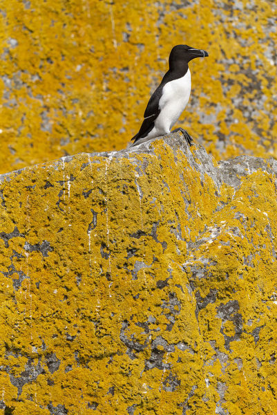 Razorbill (Alca torda) orange sea lichen (Caloplaca marina) covered roch behind, Shiant Isles, Outer Hebrides, Scotland, UK. June