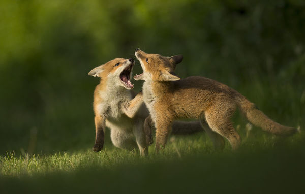 Red fox (Vulpes vulpes), two cubs play fighting. Sheffield, England, UK. May