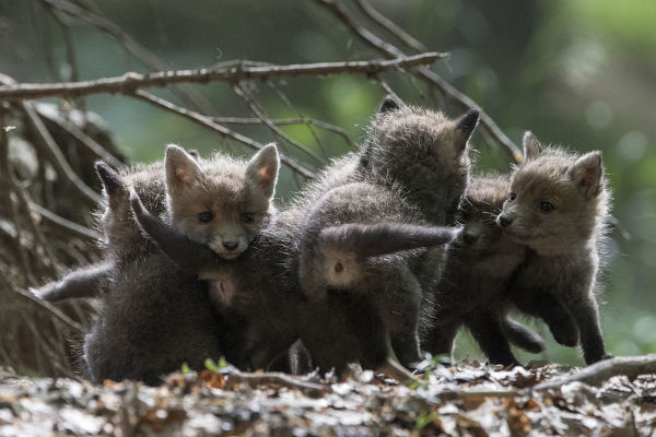 Red fox (Vulpes vulpes) cubs playing, Vosges, France, May